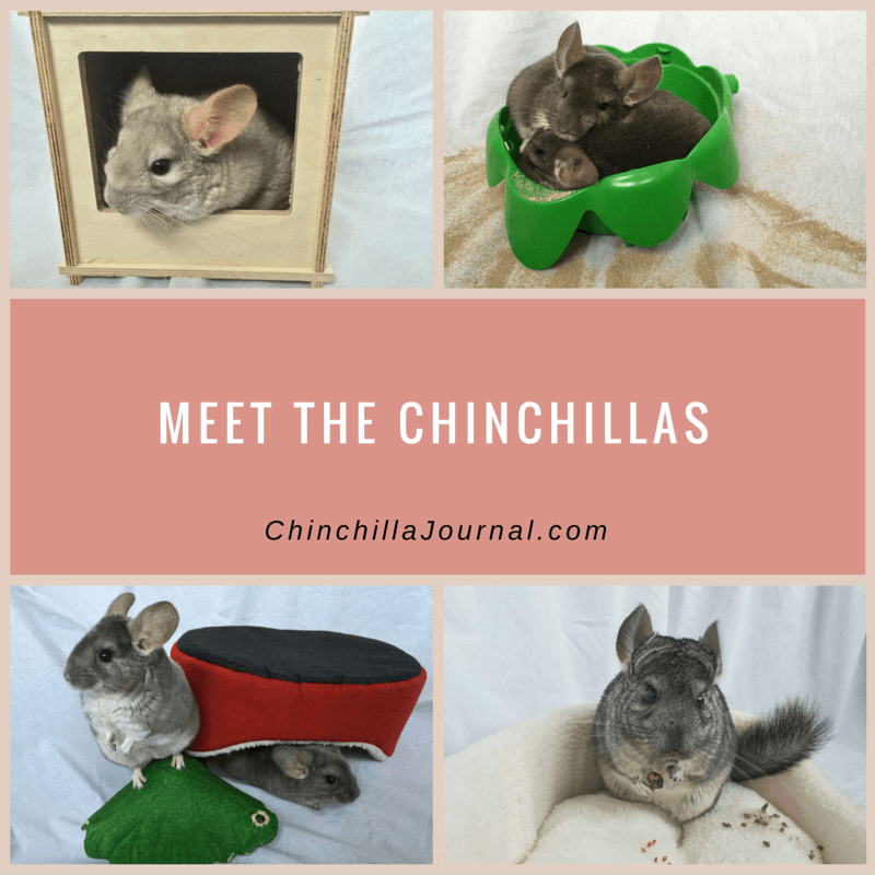 Meet The Chinchillas