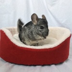 5 Treats Your Chinchilla Should Never Eat