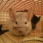 If Your Chinchilla Does This, They Might Be Too Hot