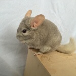 The 10 Healthiest Chinchilla Treats