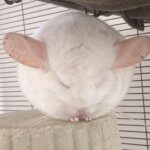 24 Chinchillas Who Will Make You Feel Fabulous