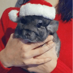 These Chinchillas Wish You A Merry Christmas