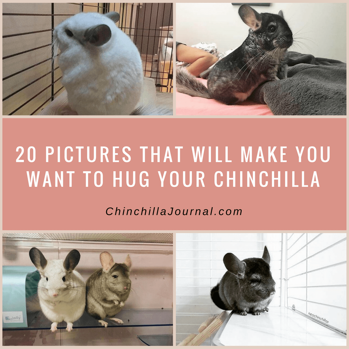 I Want To Cuddle With You Baby: 20 Pictures That Will Make You Want To Hug Your Chinchilla