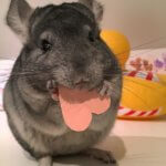 Love Is In The Air For These Chinchillas