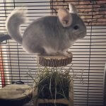 These Ridiculously Charming Chinchillas Will Make You Go Aww