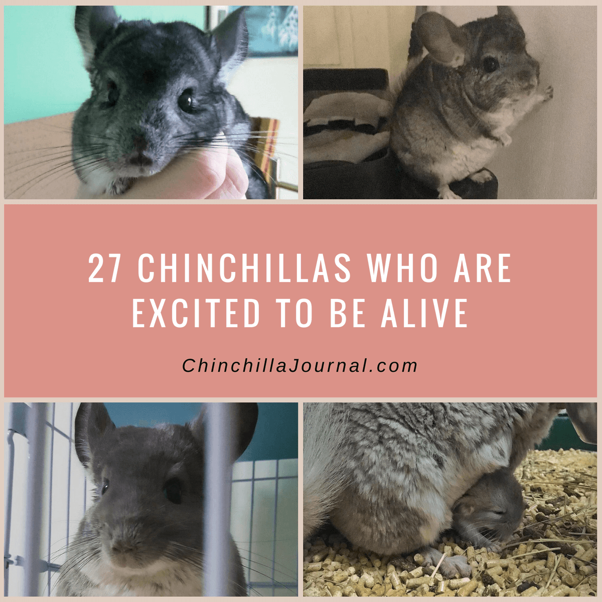 27 Chinchillas Who Are Excited To Be Alive