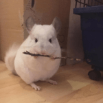 These Adorable Chinchillas Will Soothe Your Soul