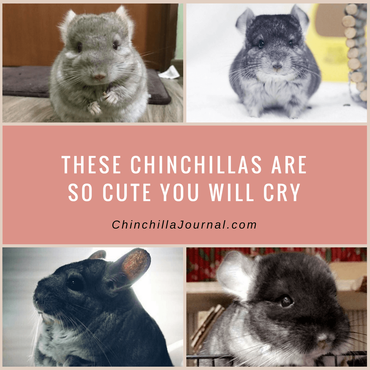 These Chinchillas Are So Cute You Will Cry