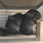 30 Of The Cutest Chinchillas On Instagram