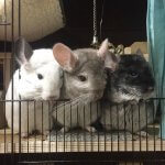 34 Chinchillas Who Will Warm Your Increasingly Cold Heart