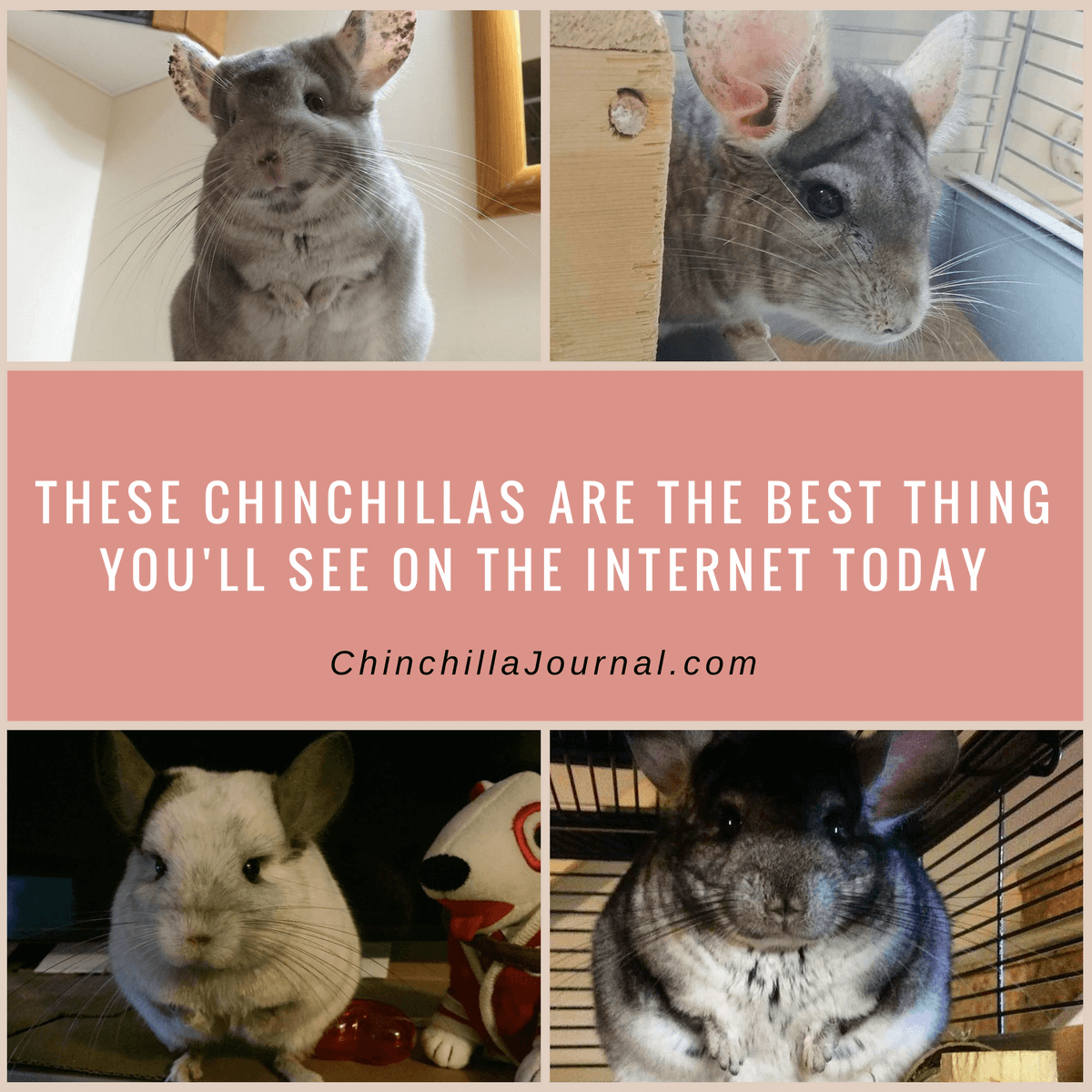 These Chinchillas Are The Best Thing You'll See On The Internet Today