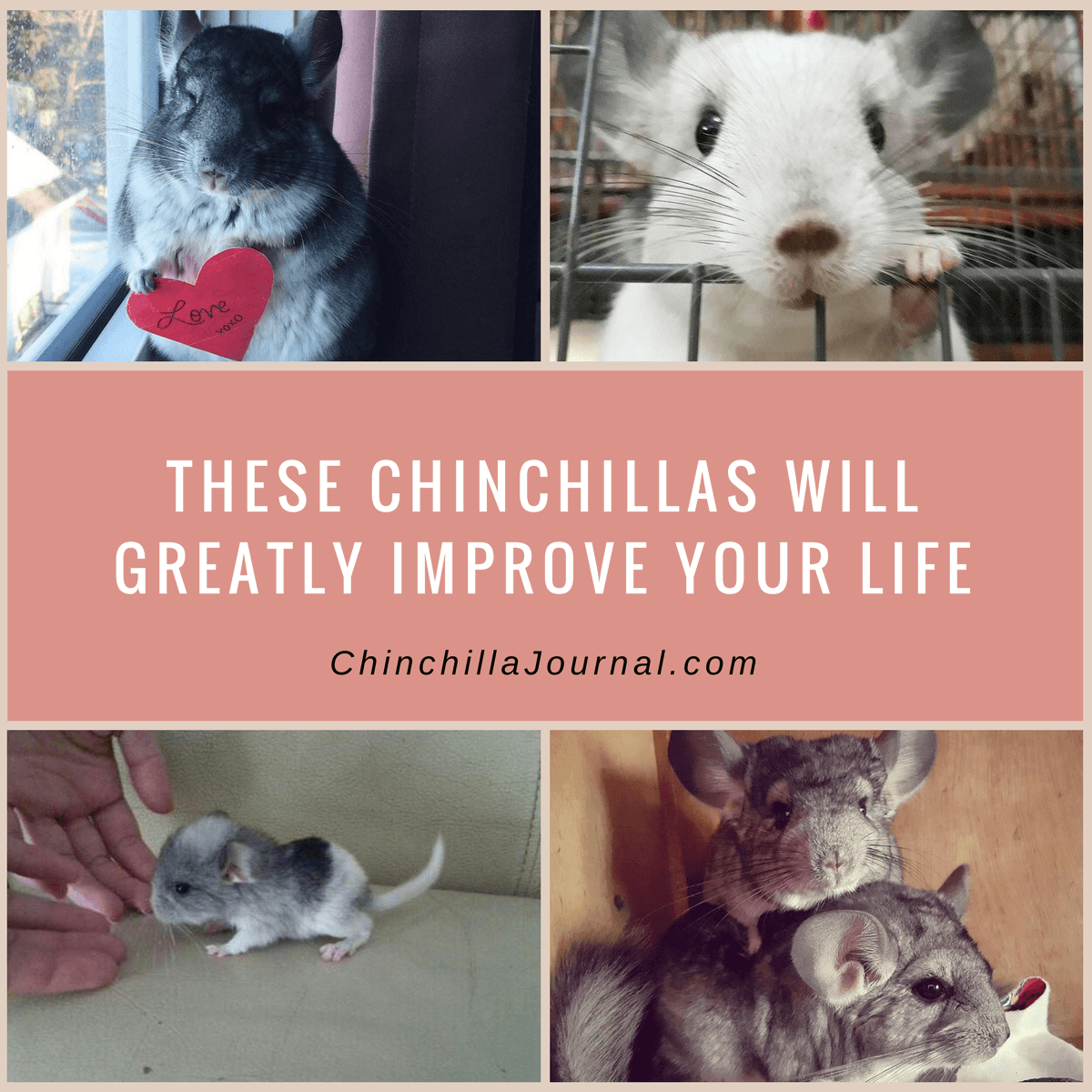 These Chinchillas Will Greatly Improve Your Life