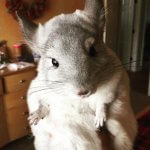 32 Chinchillas Who Are Literally Too Cute For Words