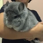 These Chinchillas Are The Most Adorable Things You'll See All Day