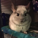 27 Chinchillas Who Are Just Loving Life