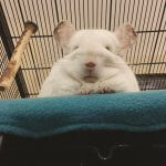 These Chinchillas Are So Fluffy You're Gonna Die