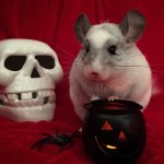 27 Spooktacular Chinchillas Who Live For Halloween