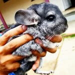 24 Chinchillas Who Are Too Fluffy For Their Own Good