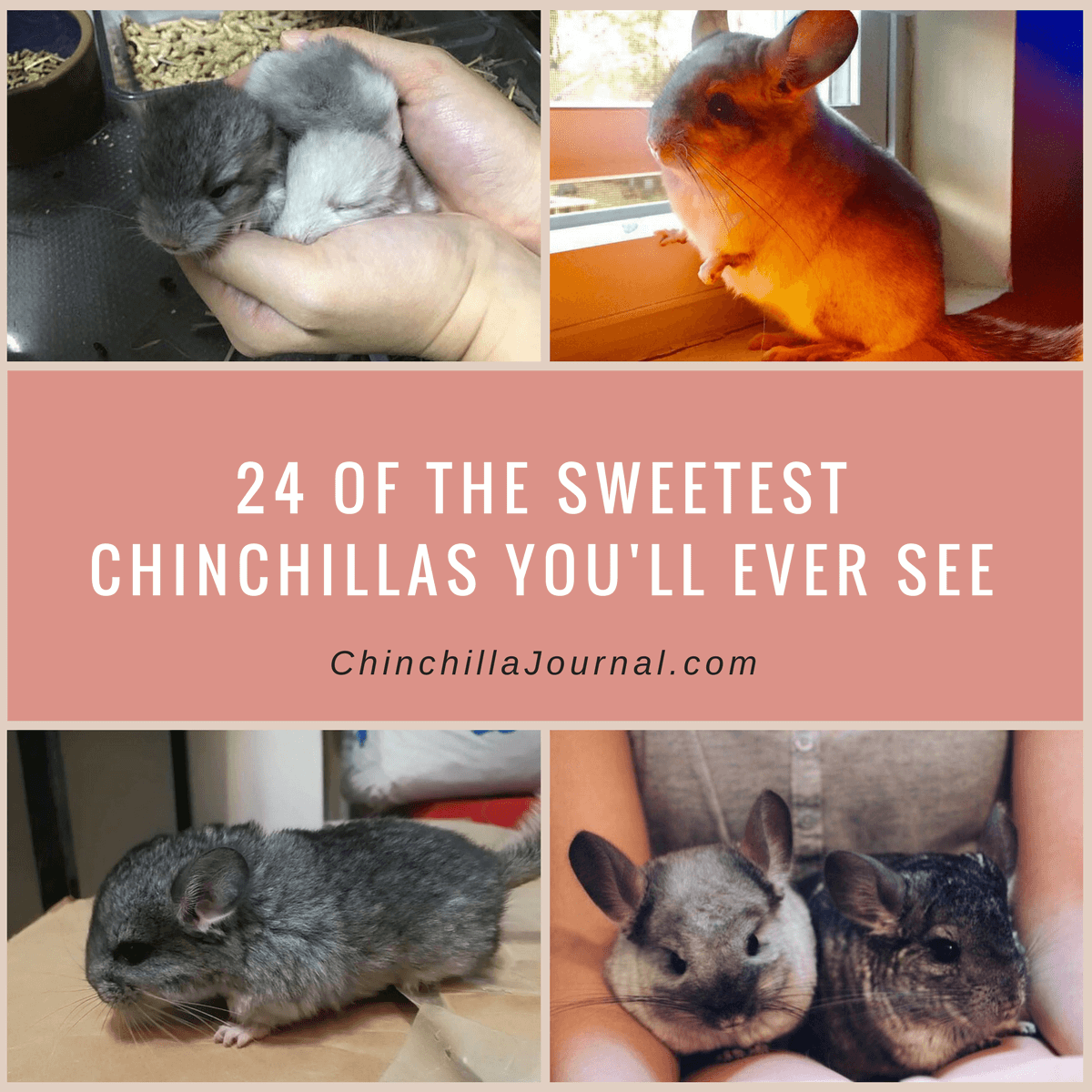 24 Of The Sweetest Chinchillas You'll Ever See