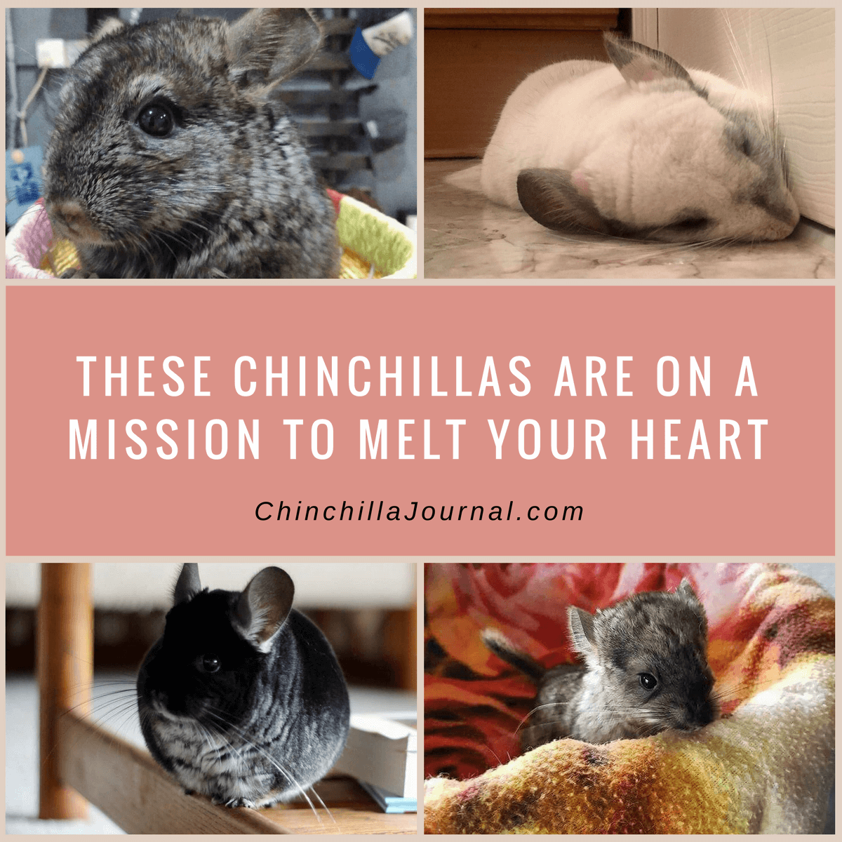 These Chinchillas Are On A Mission To Melt Your Heart