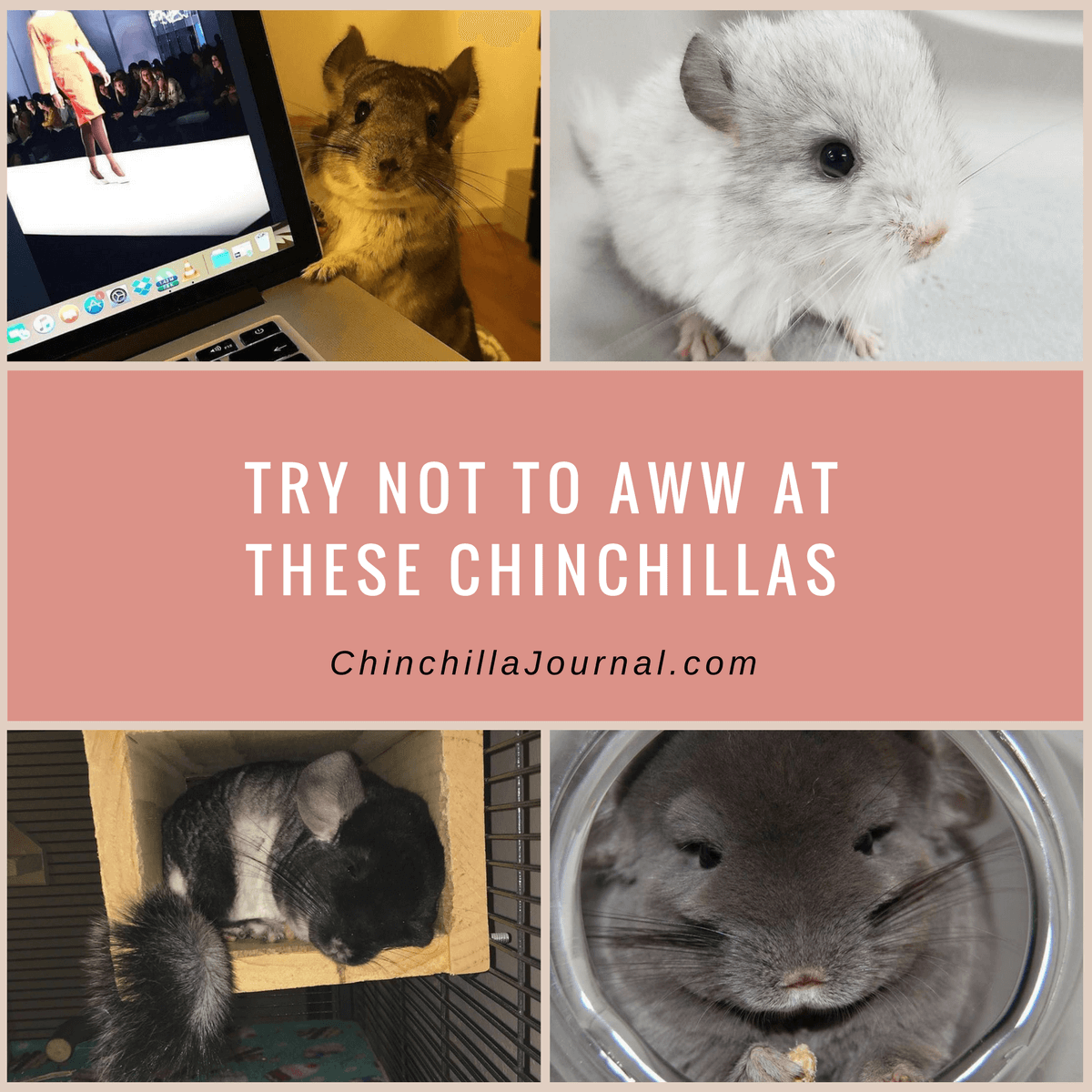 Try Not To Aww At These Chinchillas