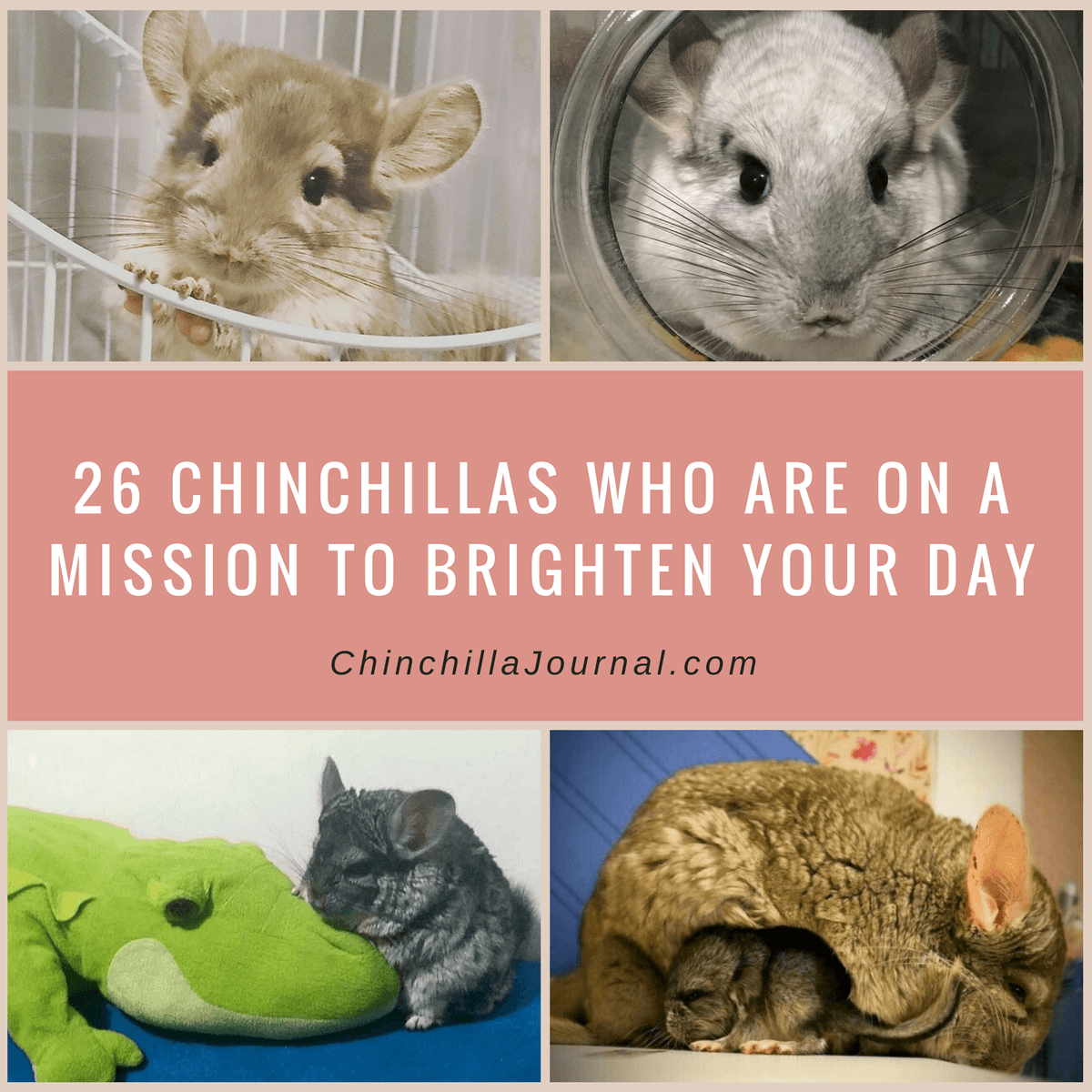 26 Chinchillas Who Are On A Mission To Brighten Your Day