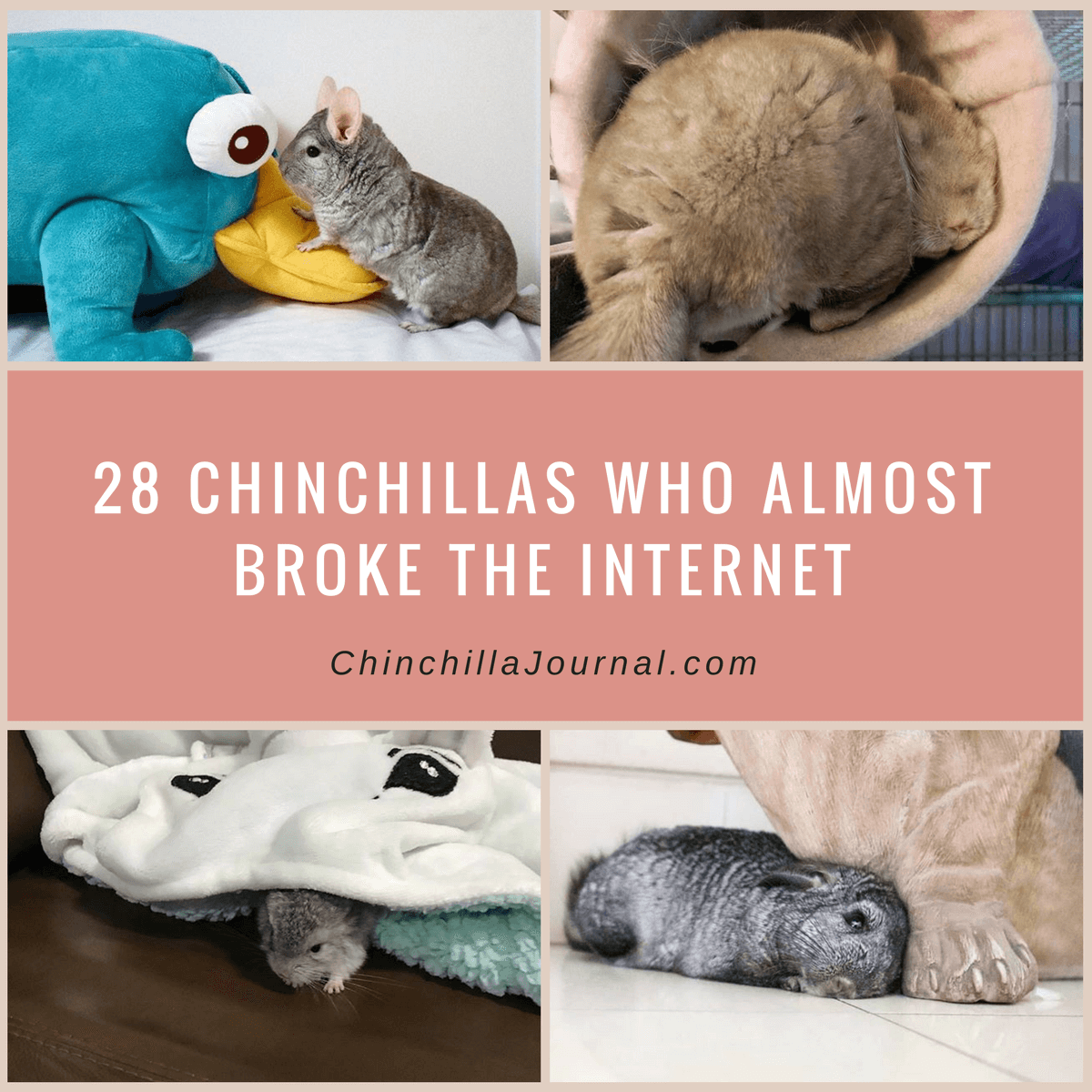 28 Chinchillas Who Almost Broke The Internet