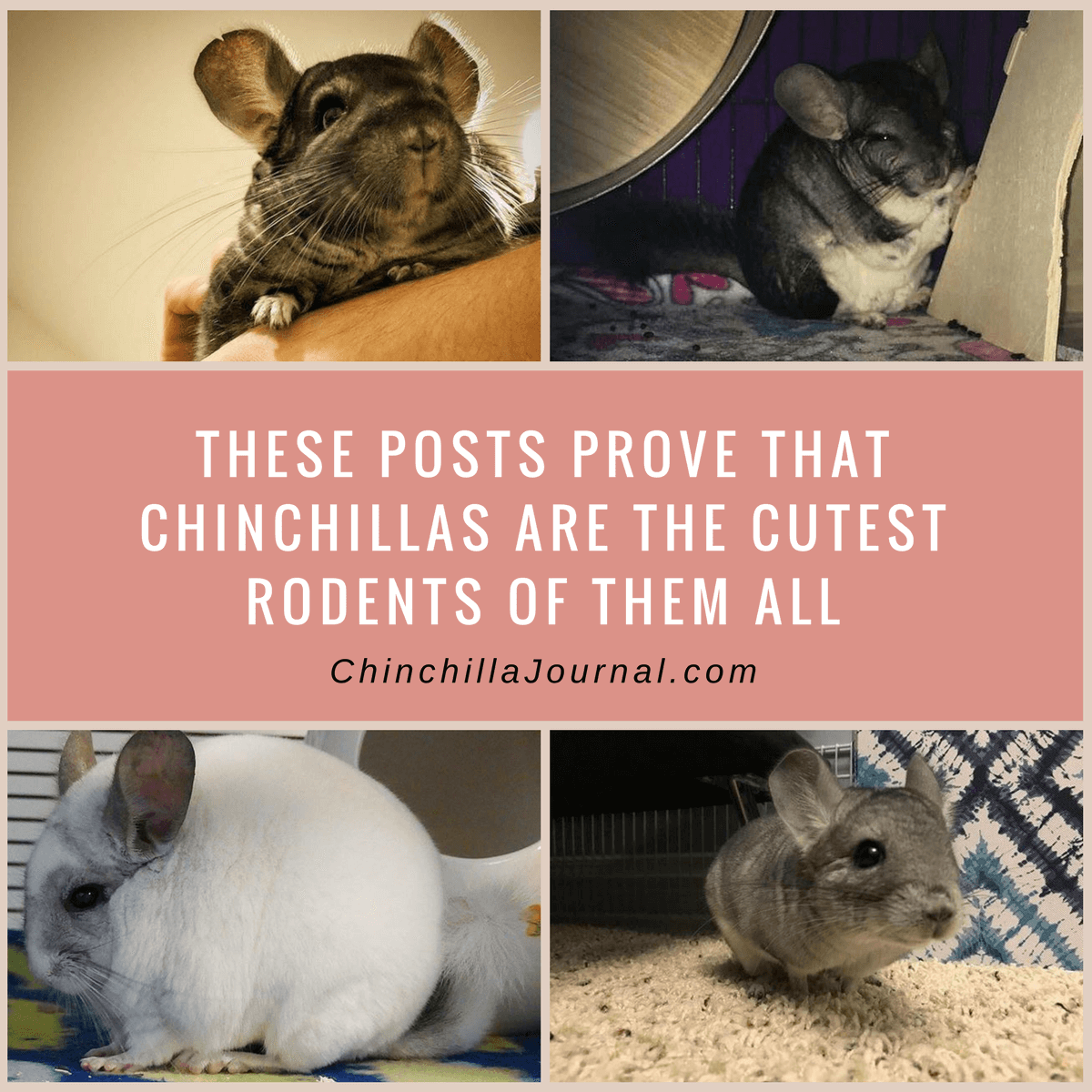 These Posts Prove That Chinchillas Are The Cutest Rodents Of Them All