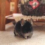 Try Not To Smile At These Adorable Chinchillas