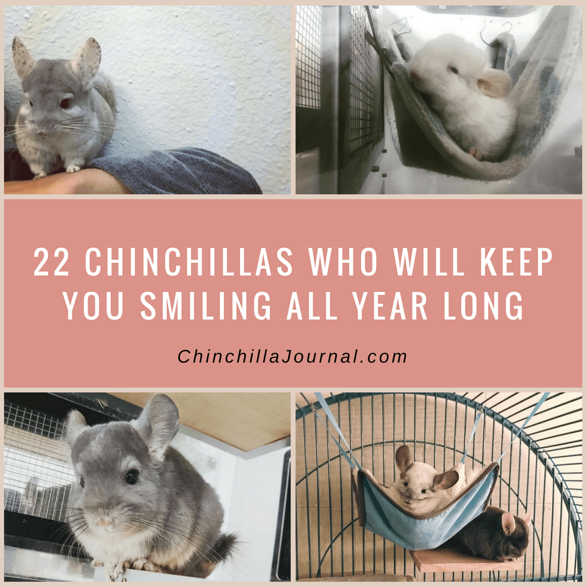 22 Chinchillas Who Will Keep You Smiling All Year Long