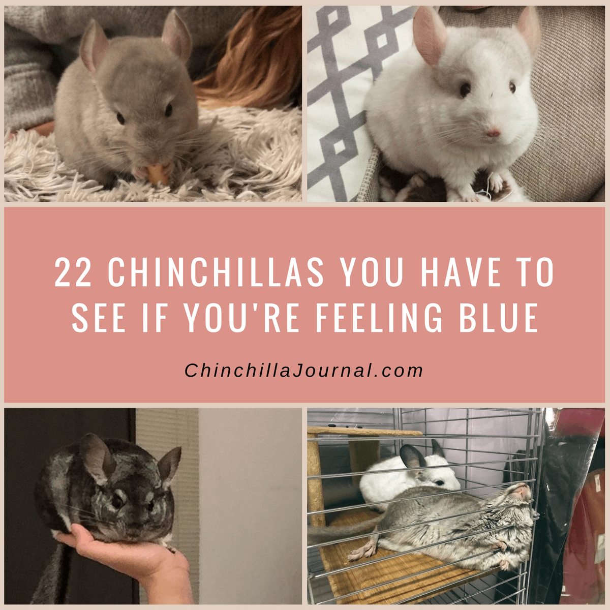 22 Chinchillas You Have To See If You're Feeling Blue