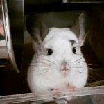 25 Chinchillas You Have To See If You're Feeling Down
