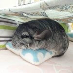 It's Impossible Not To Smile At These Chinchillas