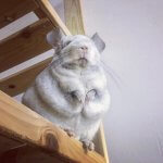 These Adorable Chinchillas Will Take Your Breath Away
