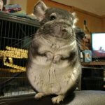 These Chinchillas Will Turn Your Heart To Mush