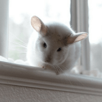 These Chinchillas Are The Cutest Thing You'll See On The Internet Today